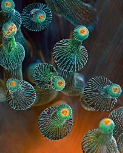   Bulbtentacle Sea AnemoneShot Kubuh Indah Bali. Bulb-tentacle Bulb tentacle Bali  